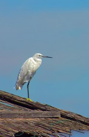 Little Egret (Egretta garzetta) perched on a roof, standing on one leg