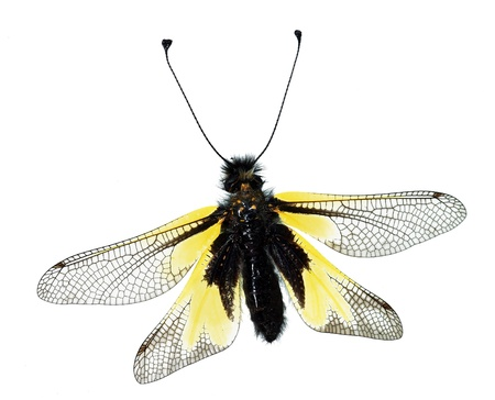 Owly Sulphur (Libelloides coccajus), an European owlfly