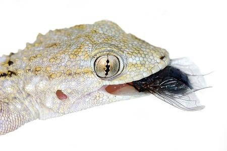 Portrait of European Common Gecko (Tarentola mauritanica) eating a fly