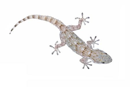 European Common Gecko, Tarentola mauritanica Stock Photo