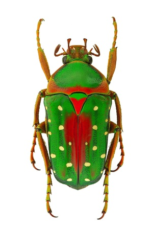 Exotic flower beetle Stephanorrhina guttata, from Africa Stock Photo