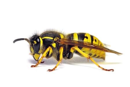ワスプ スズメバチ チャバネゴキブリ 写真素材