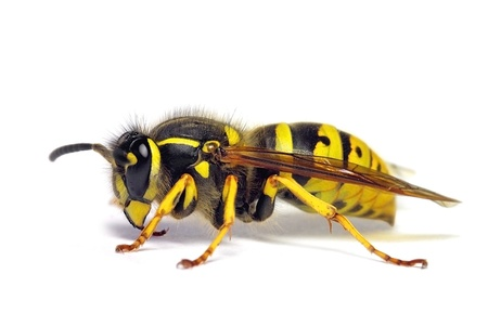 hymenoptera: Wasp  Vespula germanica