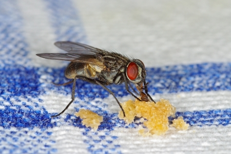 House fly (Musca domestica) sucking crubles on a table-cloth