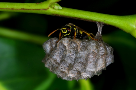 Polistes wasp guarding his nest