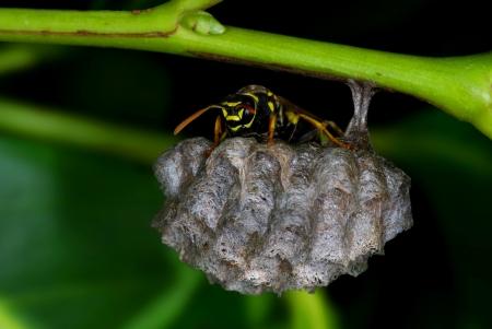 Polistes wasp guarding his nest