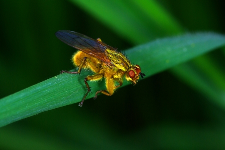 Yellow dung fly (Scatophaga stercoraria) Stock Photo