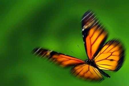 migrant: Monarch (Danaus plexippus), a migrant butterfly