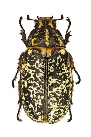 Female specimen of Polyphylla fullo isolated on a white background photo