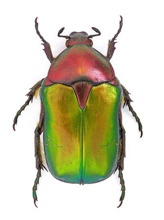 escarabajo: Rose chafer (Cetonia aurata) aisladas sobre fondo blanco