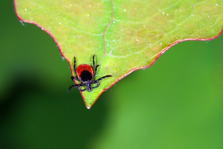 Tick waiting for his host on the tip of a leaf Stock Photo