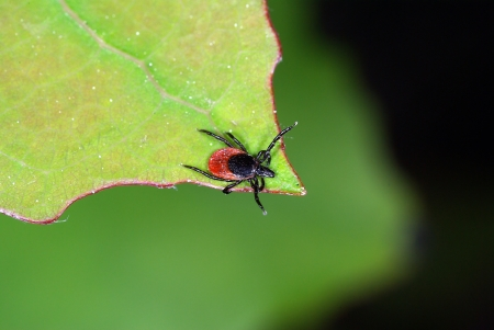 Tick waiting for his host on the tip of a leaf Standard-Bild