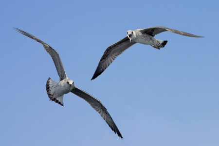 seagulls in flight looking at the observer and calling with aggressive look