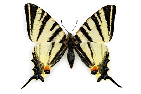 scarce: Scarce Swallowtail (Iphiclides podalirius)