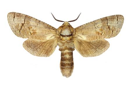 Goat Moth  Cossus cossus