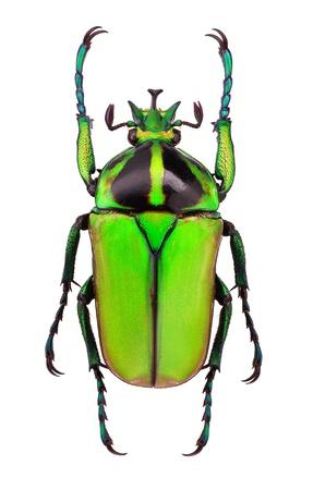 escarabajo: Hombre de Neptunides polychrous flor escarabajo - Tanzania