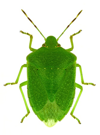 green bug  Nezara viridula  a crop pest, also known as southern green stink bug or green vegetable bug photo