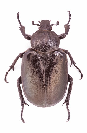 Osmoderma eremita, female specimen, an endangered and protected European beetle Stock Photo