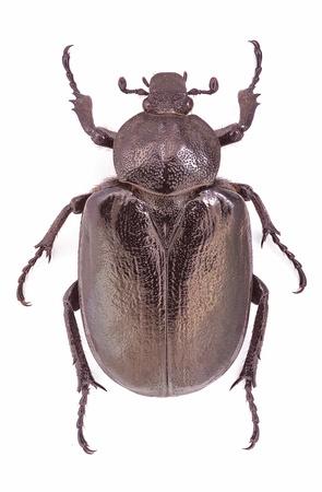 Osmoderma eremita, female specimen, an endangered and protected European beetle Stock Photo