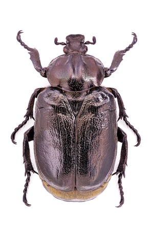 Osmoderma eremita, male specimen, an endangered and protected European beetle