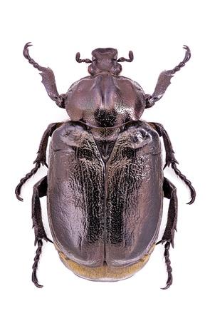 Osmoderma eremita, m�nnliches Exemplar, eine vom Aussterben bedrohte und gesch�tzte Europ�ischen beetle Stockfoto - 17689199