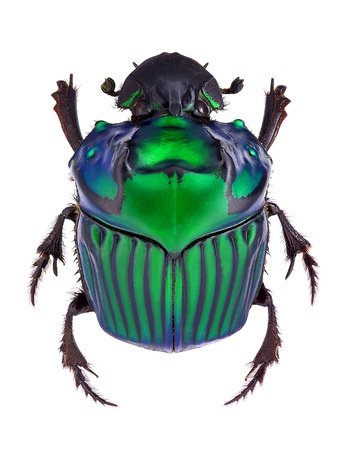 dung: Oxysternon conspicillatum, dung beetle from South America, male specimen