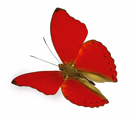 red butterfly in flight  Cymothoe sangaris  Stock Photo