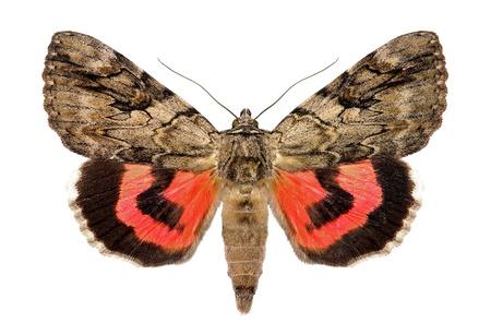 バラ色シタバガ、Catocala エレクタ欧州産の蛾