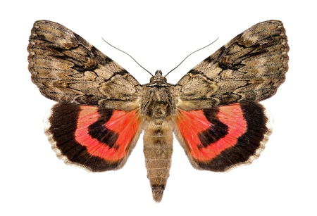 catocala: Rosy underwing, Catocala electa, an European Moth