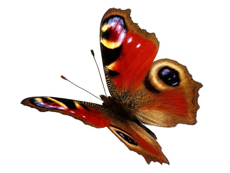European Peacock butterfly  Inachis io  in flight Stock Photo