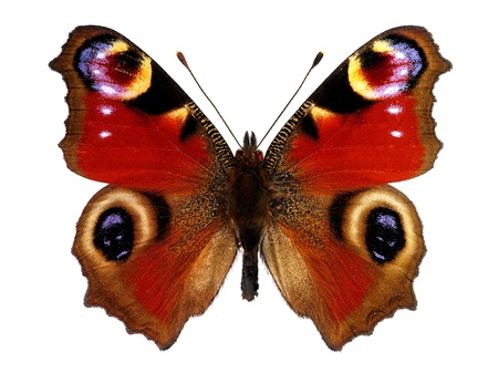 papillon: European Peacock papillon paon