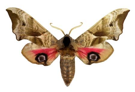ocellatus: Eyed Hawk-moth  Smerinthus ocellatus  Stock Photo