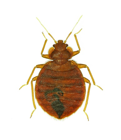 Bedbug  Cimex lectularius  isolated on white background Stock Photo