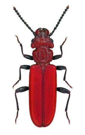 絶滅危惧種の欧州の甲虫 Cucujus haematodes; 写真素材