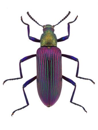 マダガスカル ゴミムシダマシ科から美しい甲虫 Strongylium cupripenne