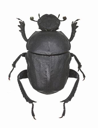 dung: Gymnopleurus sturmi, dung beetle from Europe Stock Photo
