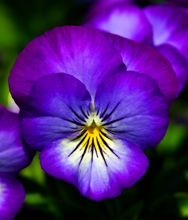 Close up of a pansy flower
