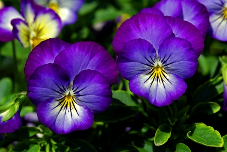 Close up of pansy flowers