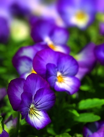 Close up of pansy flowers, with selective focus