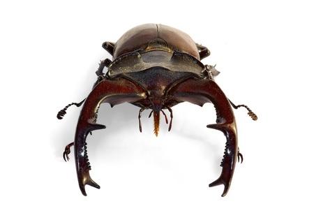 close up of stag beetle  Lucanus cervus