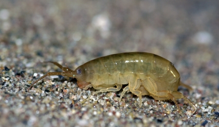 crustacea: Sand Hopper  Talitrus saltator