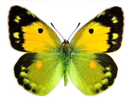 white butterfly: Dark Clouded Yellow  Colias croceus  isolated on a white background Stock Photo