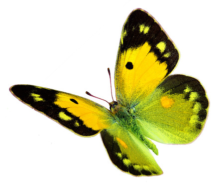 pieridae: Dark Clouded Yellow  Colias croceus  in flight isolated on a white background Stock Photo