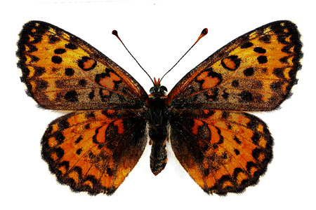 trivia: Lesser Spotted Fritillary  Melitaea trivia , female, isolated over a white background