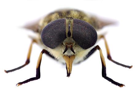 prickling: Horsefly Stock Photo