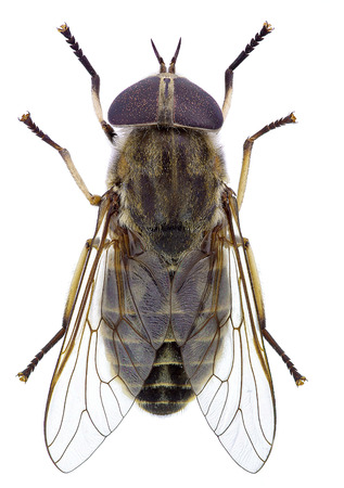 prickling: Horsefly isolated on a white background Stock Photo