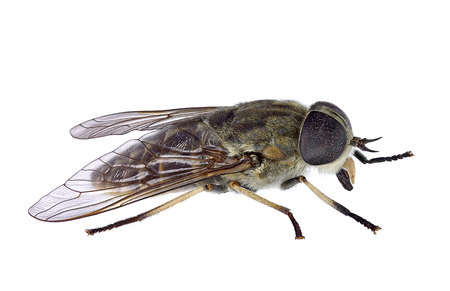 horsefly: Horsefly isolated on a white background Stock Photo