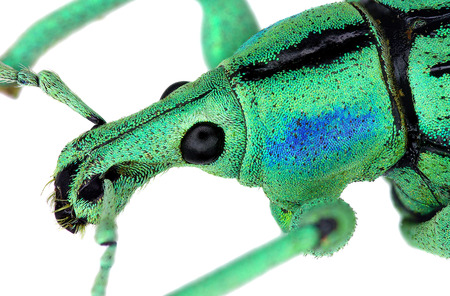 magnific: Close up of azure weevil Eupholus cuvieri Stock Photo