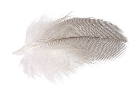 Soft dove feather isolated over white