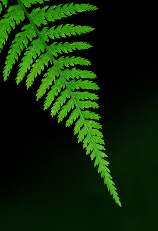 Tip of a fern leaf, isolated over a blurred dark